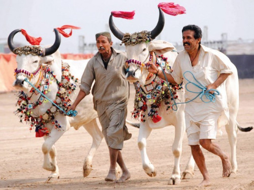 Sindh Horse Cattle Show 03